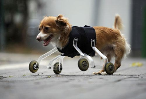 dog on wheels inspirational picture