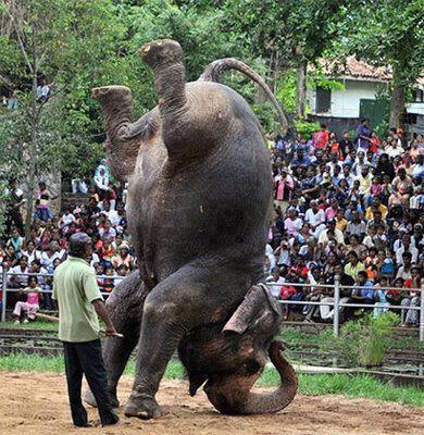 elephant gymnastics