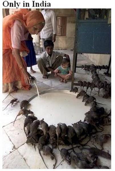 feeding rats