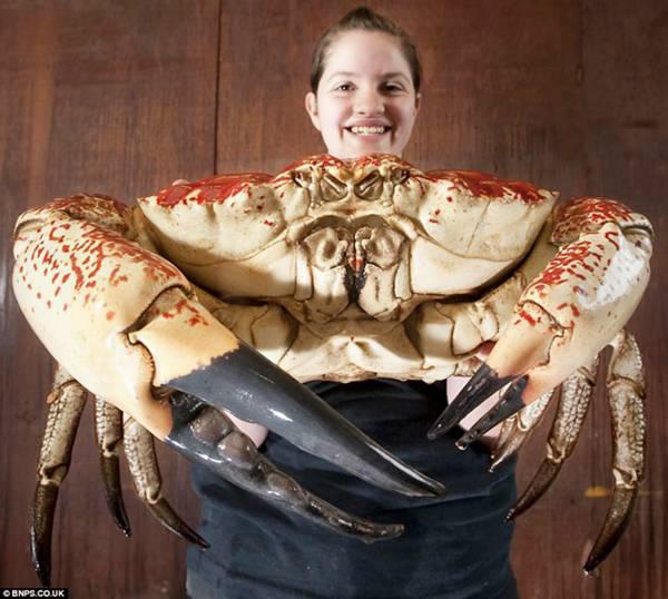 worlds largest crab