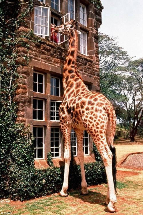 giraffe looking window
