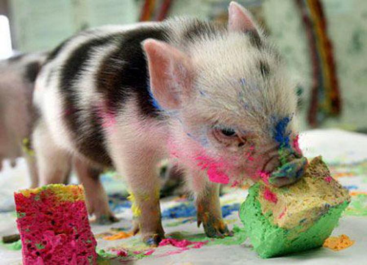 pig eating cake