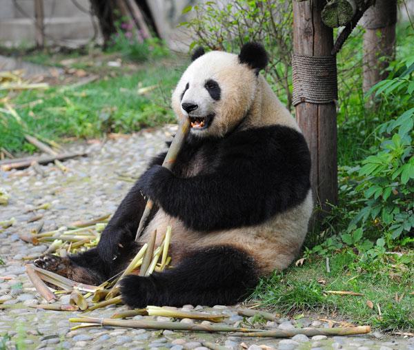 panda eating food