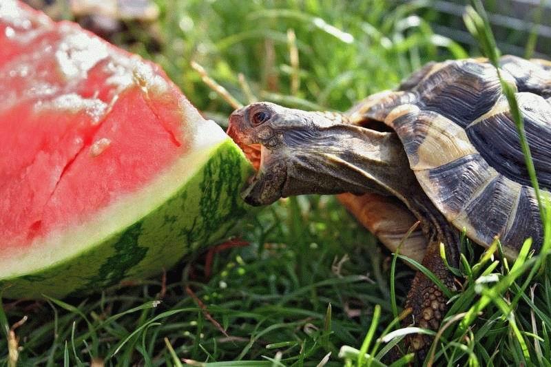 tuttle eatinag strauberry