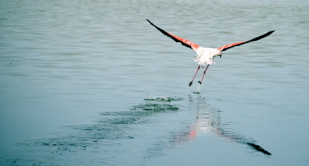 flying flamingo photography