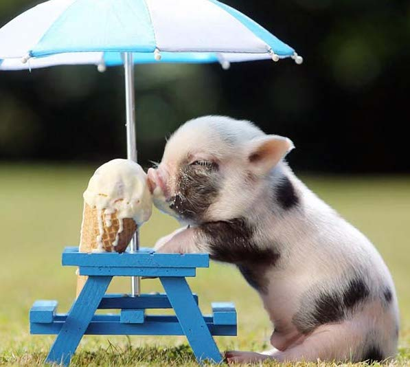 2 pig eating ice cream