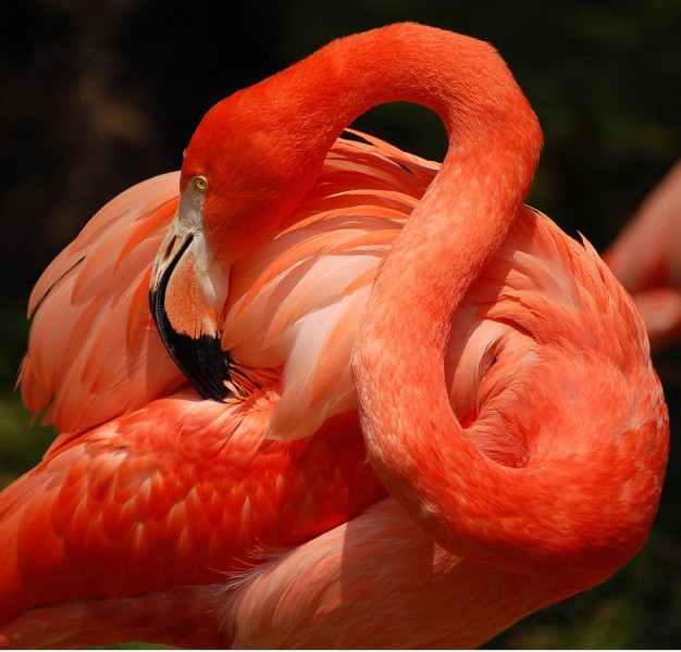 flamingo photography