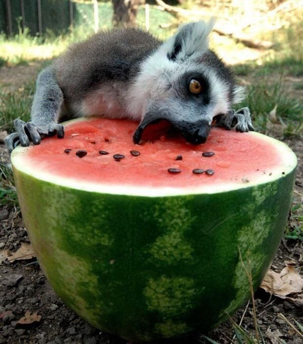 dog eating water melon