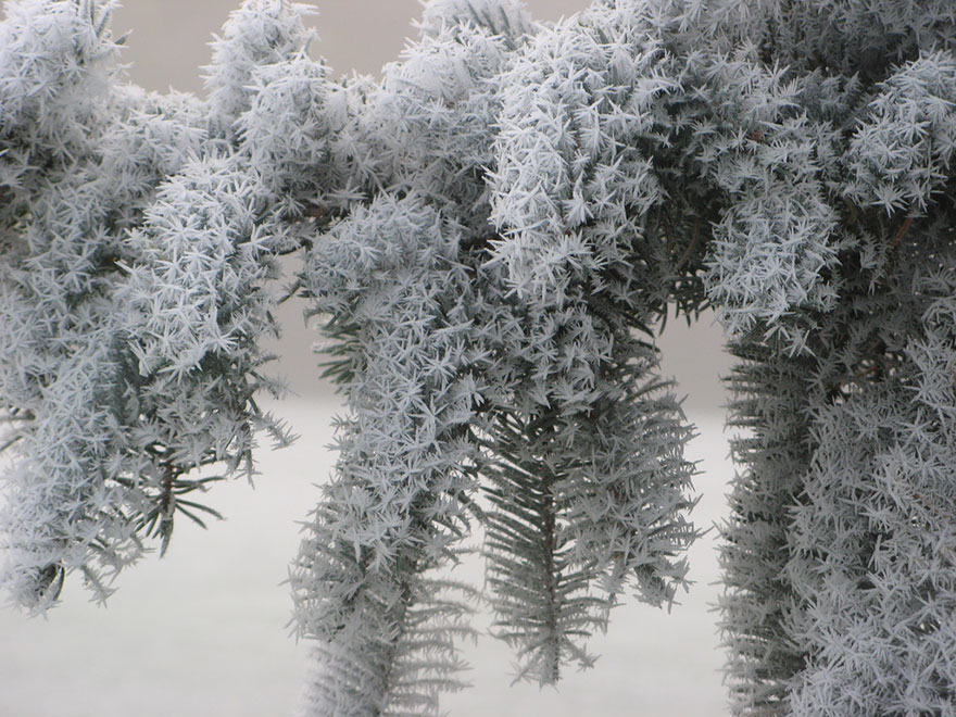 beautiful ice formation frosted pine