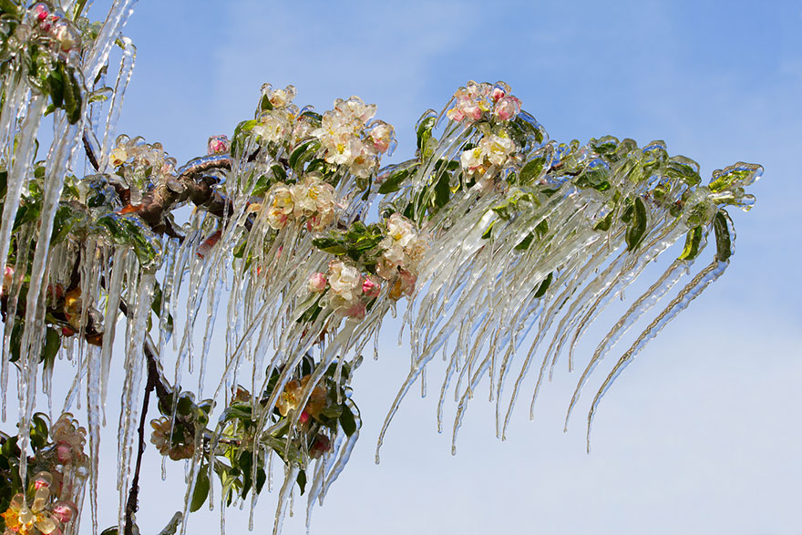beautiful ice formation blooming apple tree