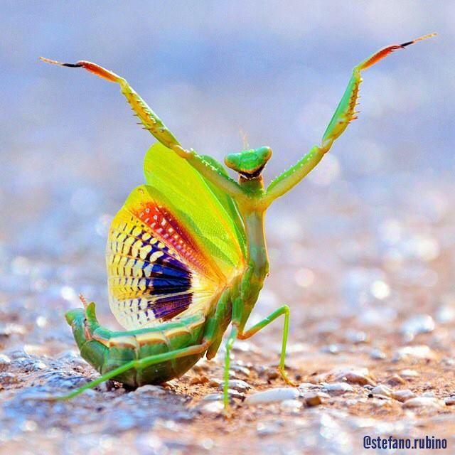 funny praying mantis photo stefano rubino