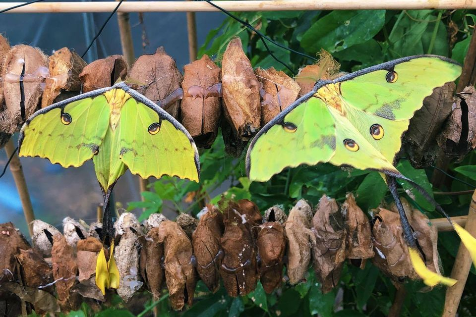 butterfly photography african moon moth