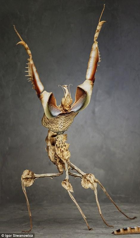 funny praying mantis photo igor siwanowicz