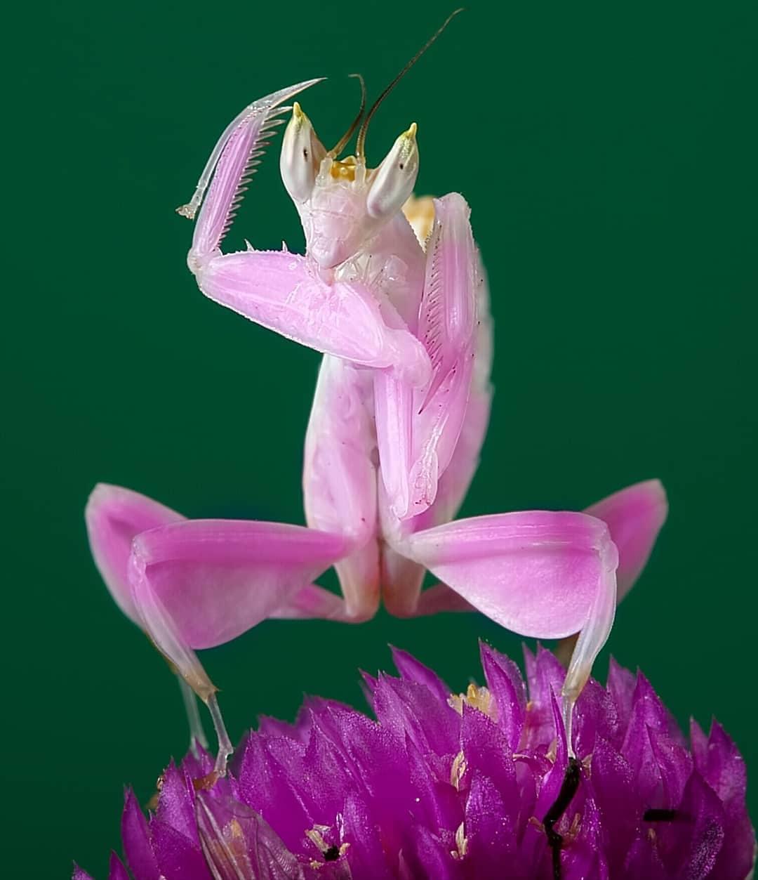 beautiful playing mantis photo