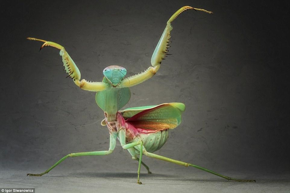 dancing praying mantis igor siwanowicz