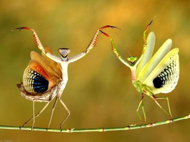 beautiful praying mantis photo