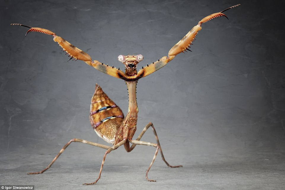 praying mantis photo igor siwanowicz