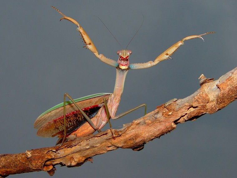 funny praying mantis photo