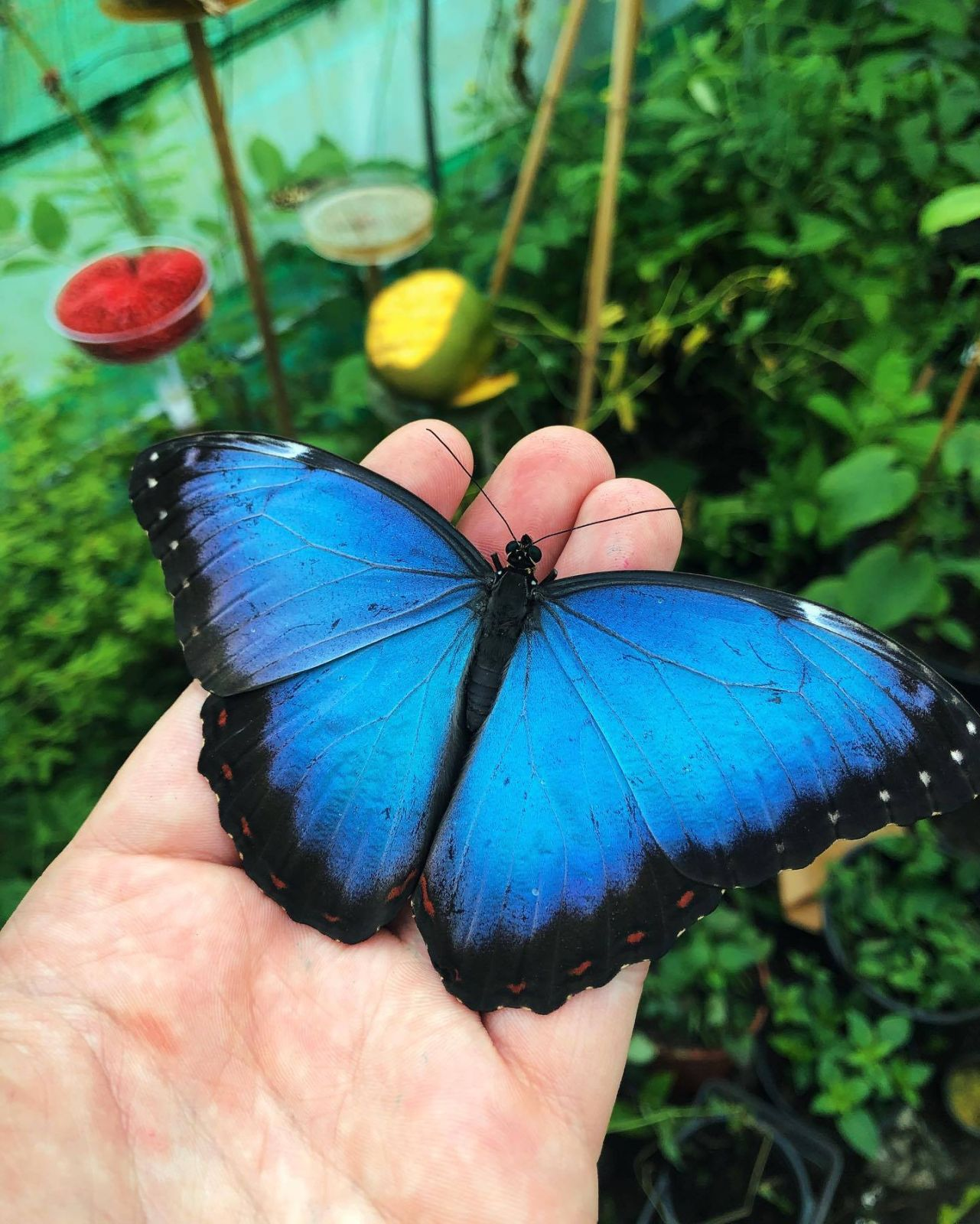 butterfly photography blue black