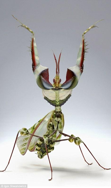 macro photography mantis igor siwanowicz