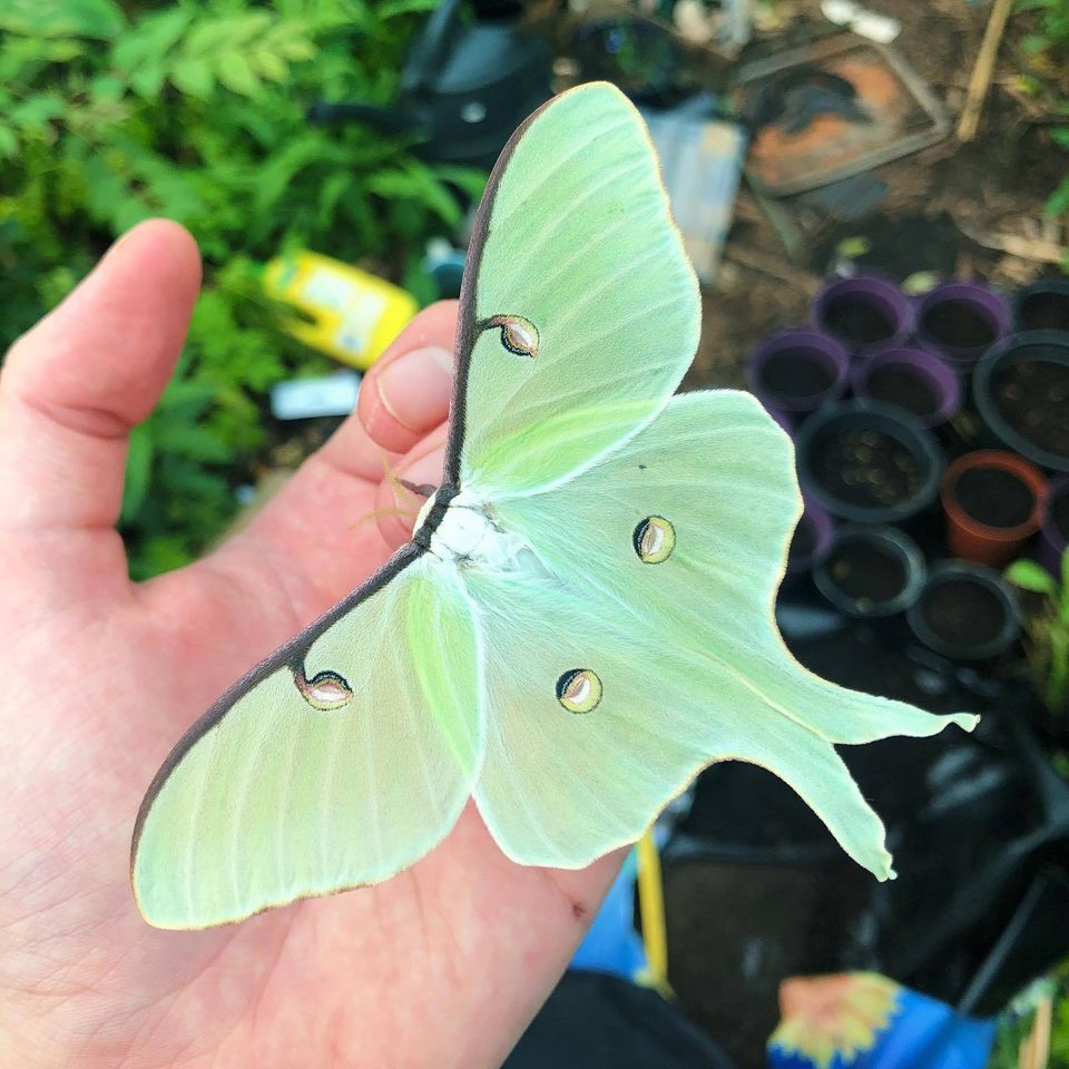 butterfly photography american moon moth