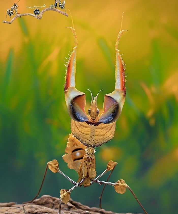 cute mantis photo wayfuser