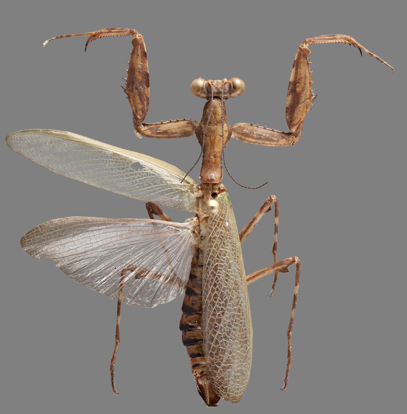 dancing praying mantis photo