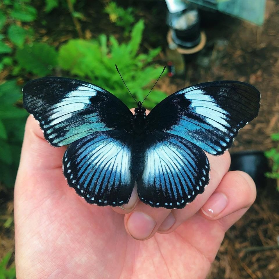 butterfly photography black tipped diadem