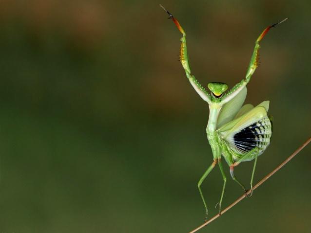 cute playing mantis photo