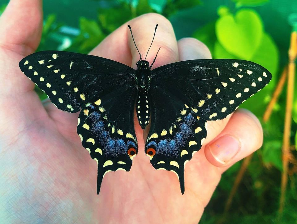 butterfly photography black swallowtail