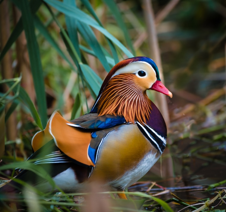 beautiful mandarin duck image james chen