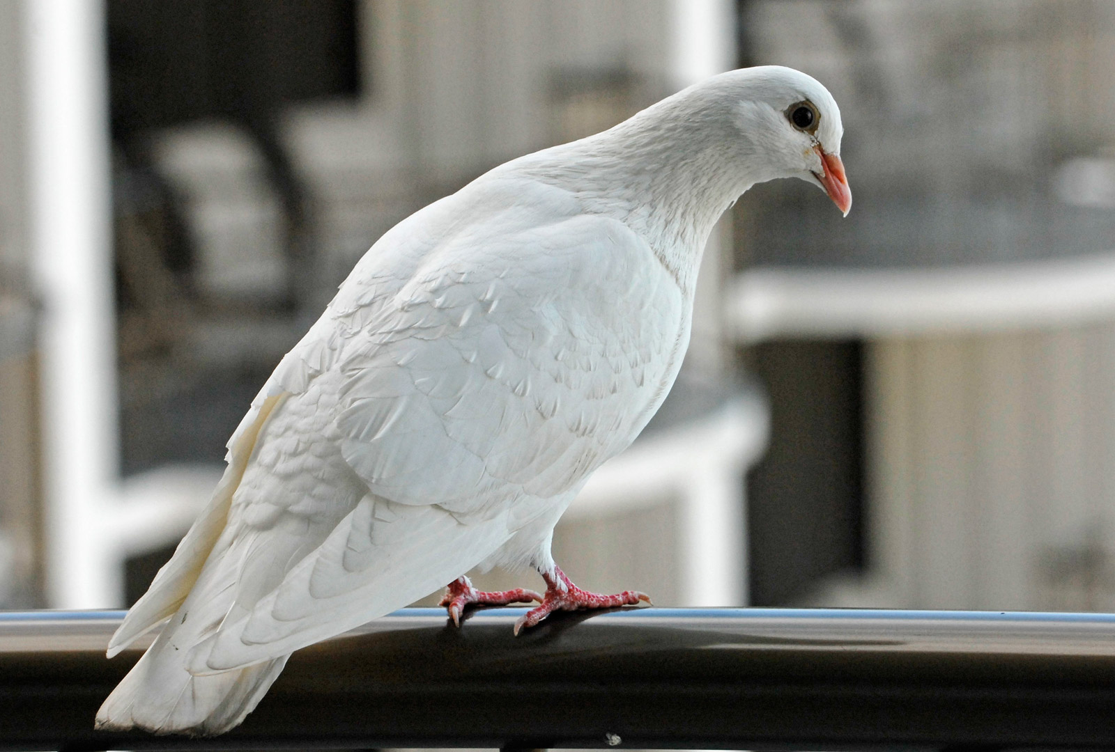 beautiful white pigeon picture tabbpix