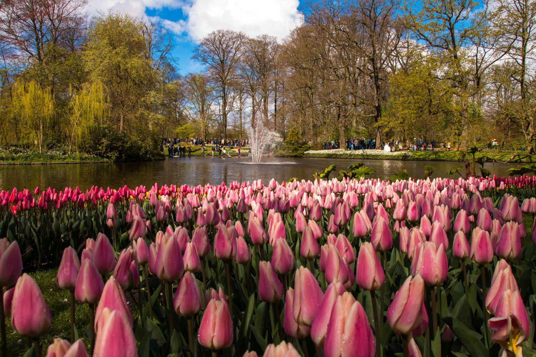 beautiful tulip garden hugo valerio verkoelen