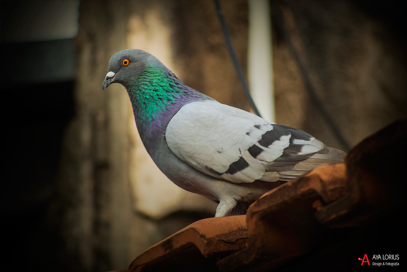 beautiful pigeon picture jenifer herrera said