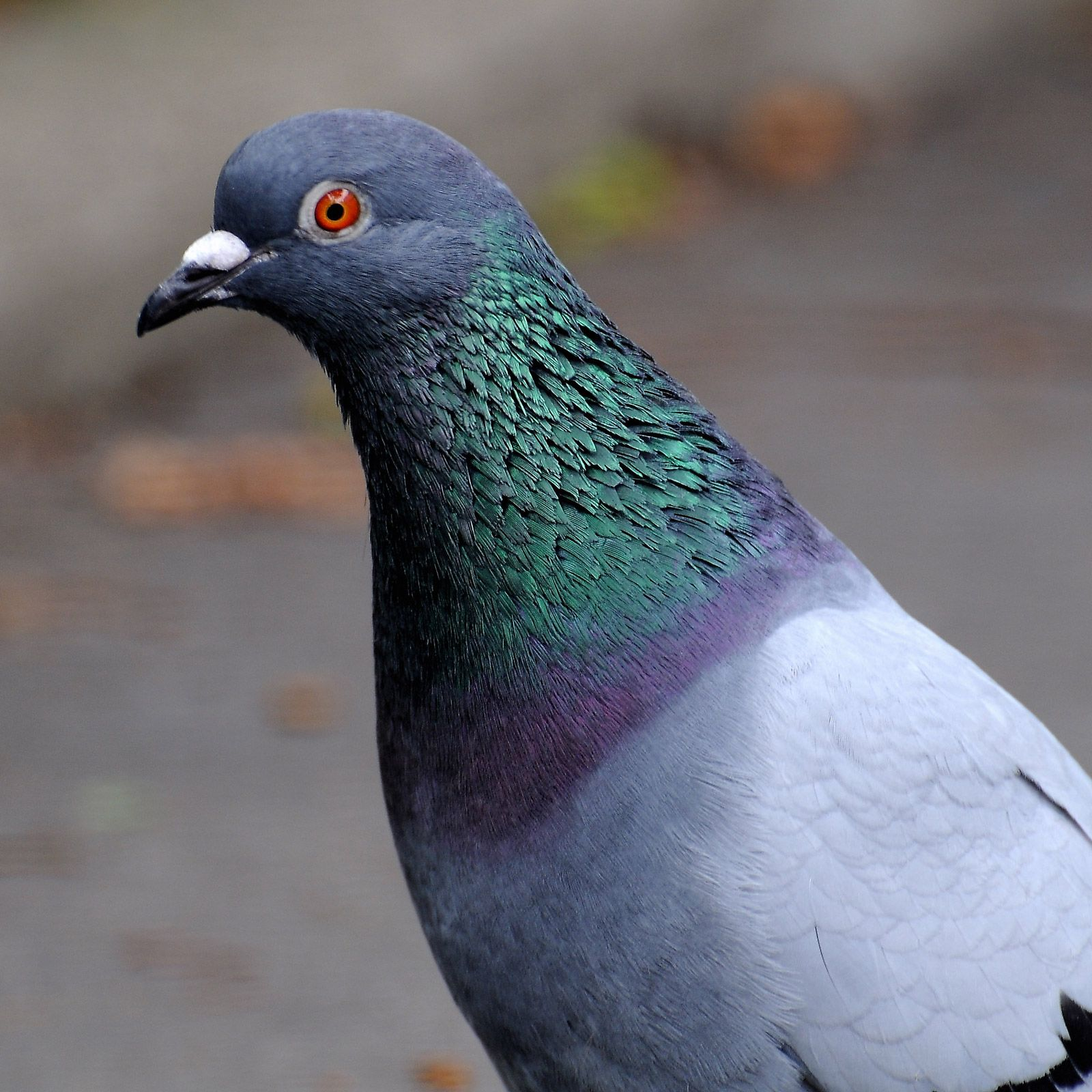 beautiful pigeon picture jean michel volat
