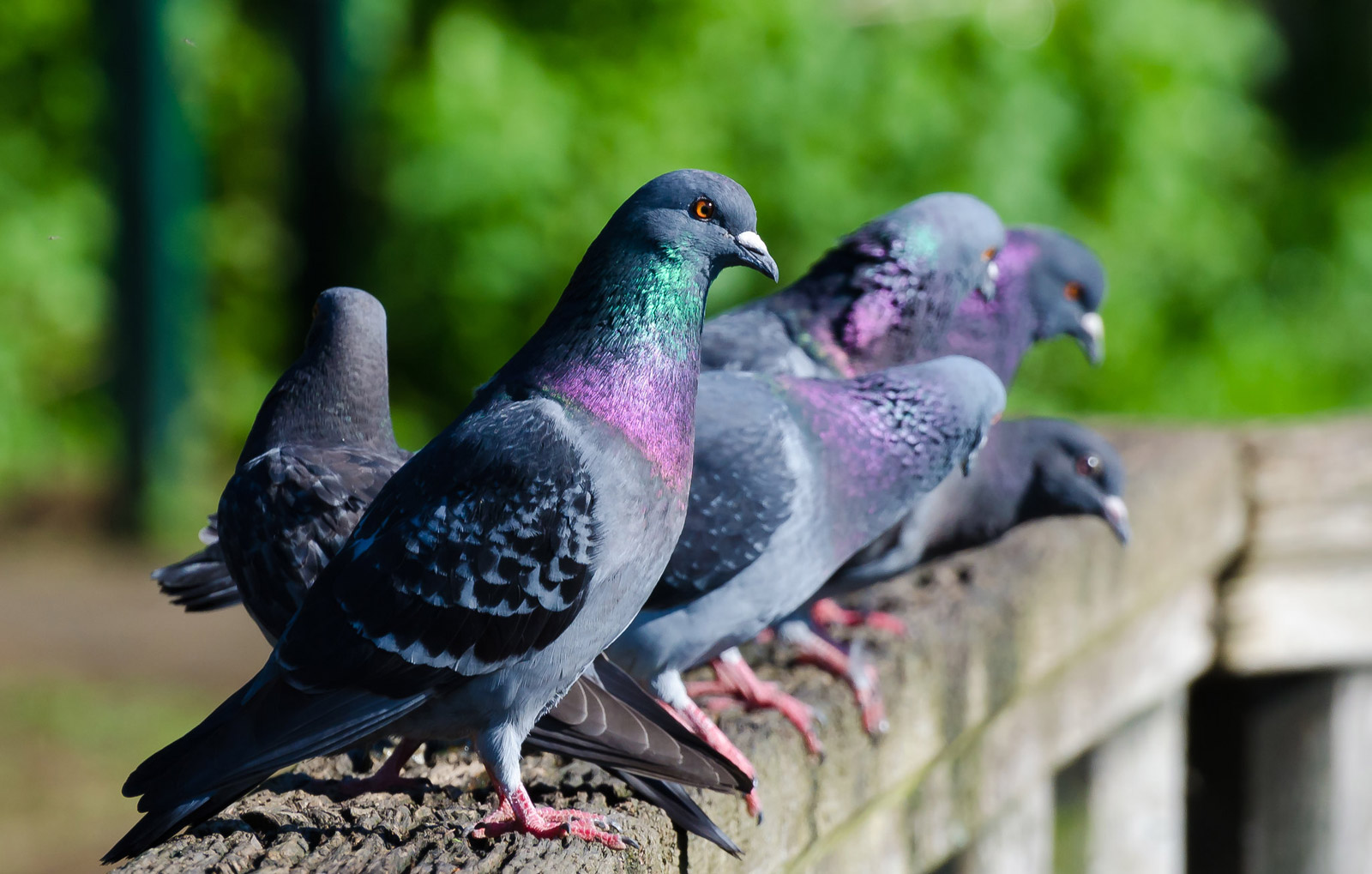 beautiful pigeon picture mikethereservewarden