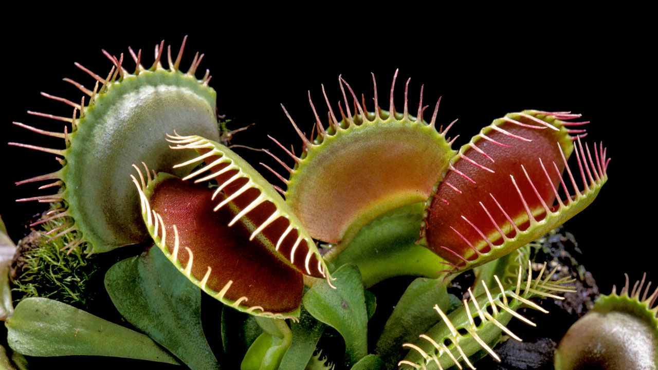 amazing unusual shape plant picture venus flytrap