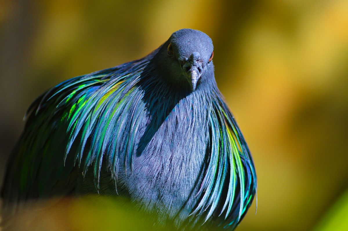 beautiful pigeon picture torres rivero photography