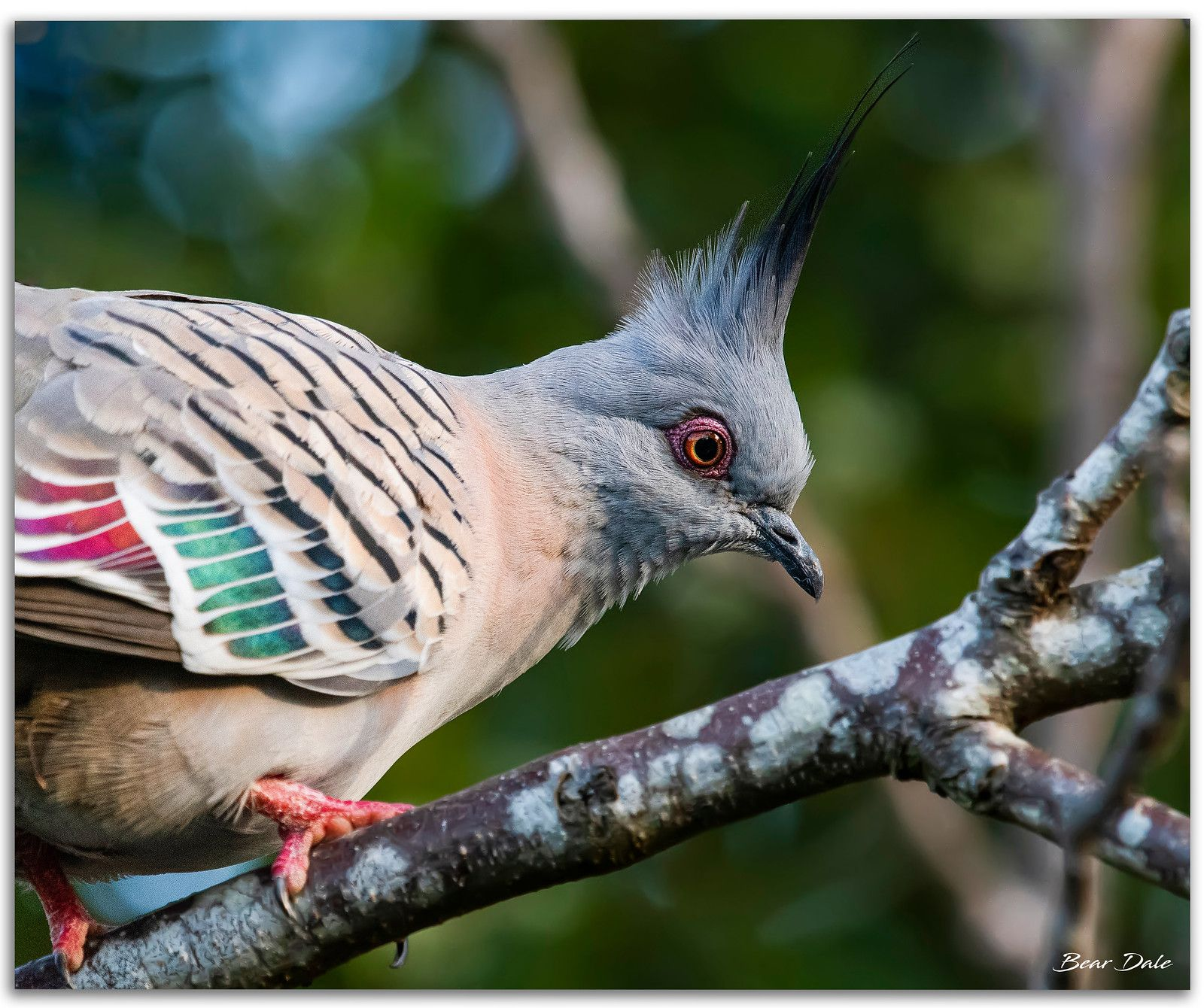 beautiful crested pigeon picture bear dale