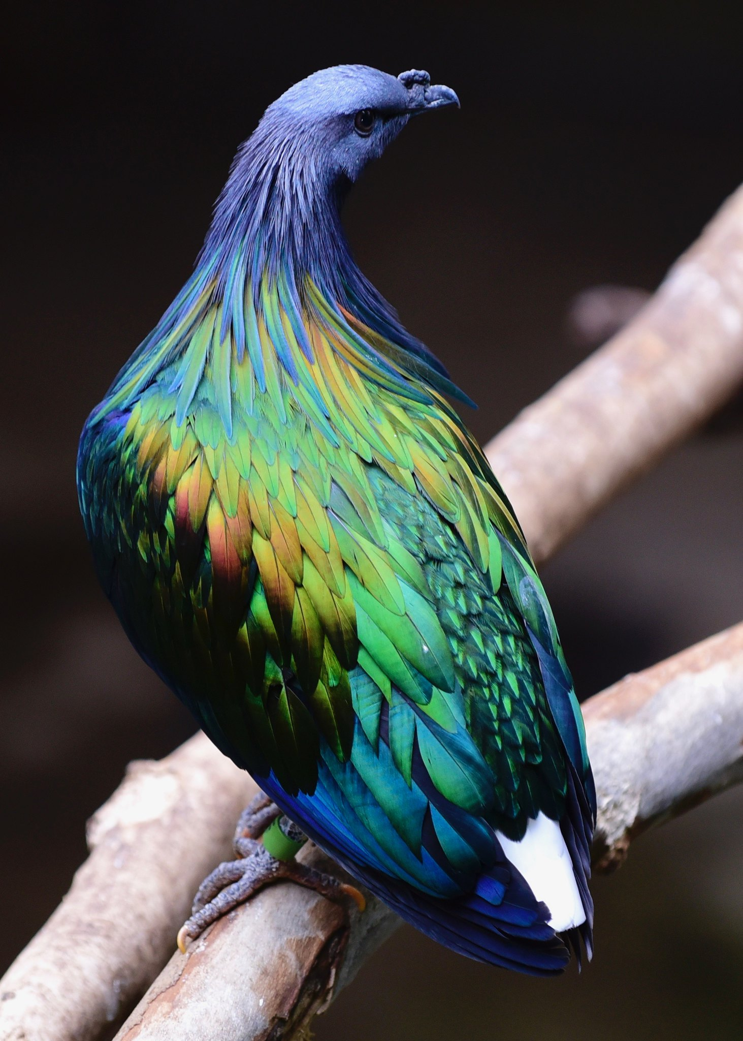 beautiful nicobar pigeon picture rakillmer