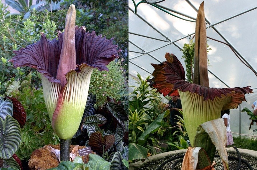 amazing unusual shape flower picture corpse lily