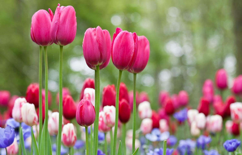 beautiful tulip garden teuni stevense