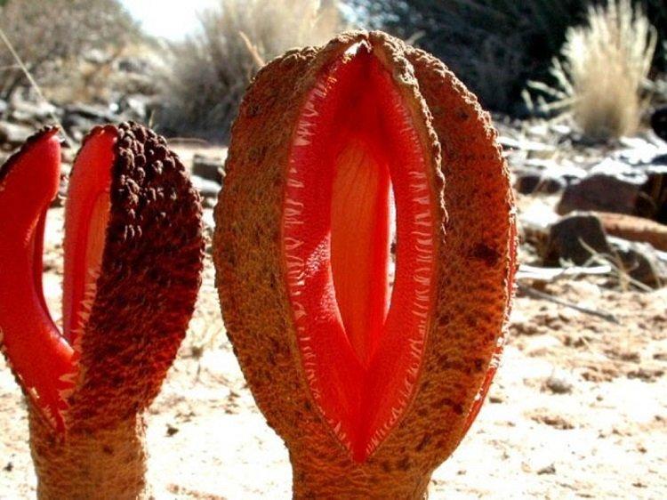 amazing unusual shape plant image hydnora africana