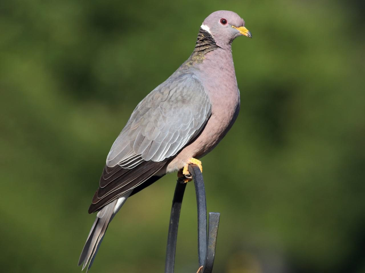 beautiful pigeon pictures paul fenswick