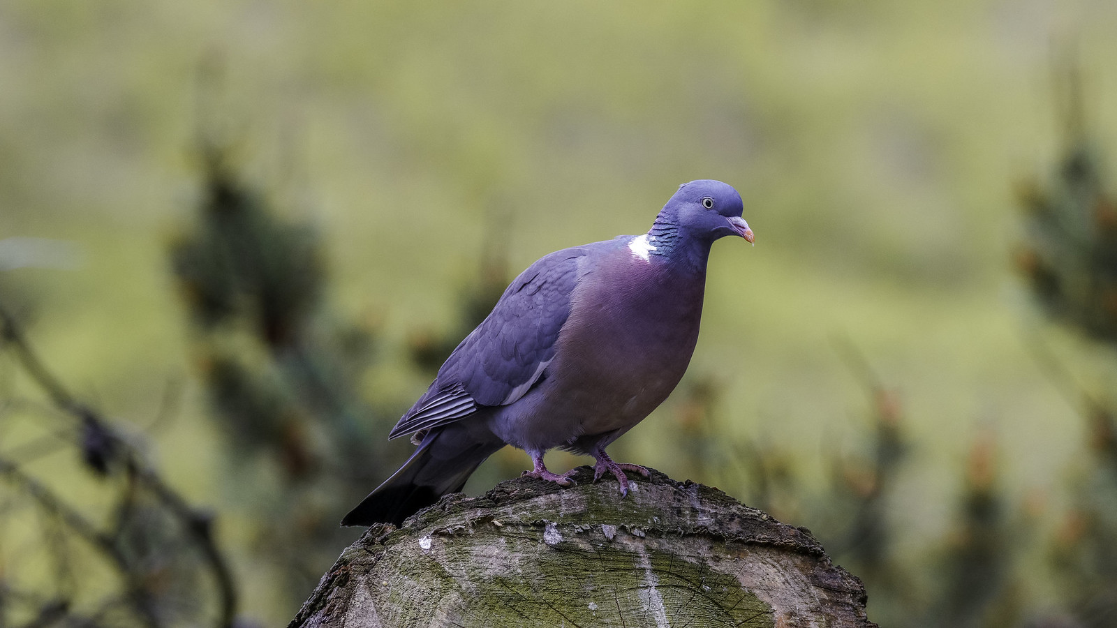 beautiful pigeon picture andrew