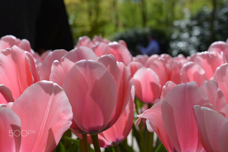 beautiful tulip garden anirban de