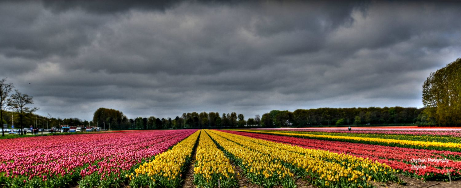 beautiful tulip garden joydeep