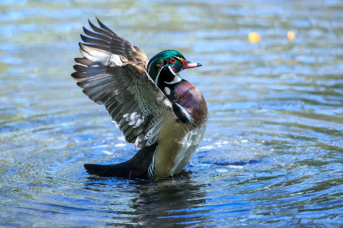 beautiful wood duck image edwin godinho