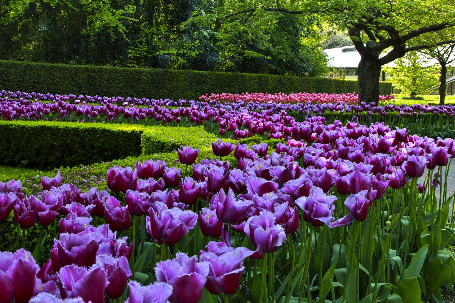 beautiful tulip garden manisha desai