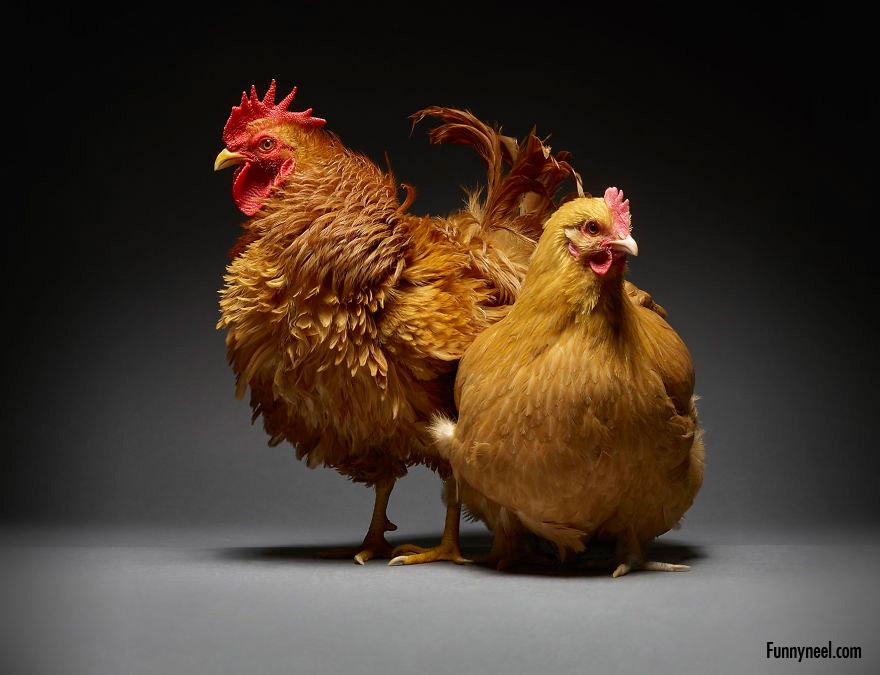 beautiful chicken photo moreno